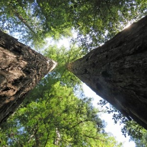 VW Partners With Conservation Fund and 3Degrees to Manage and Restore Redwoods