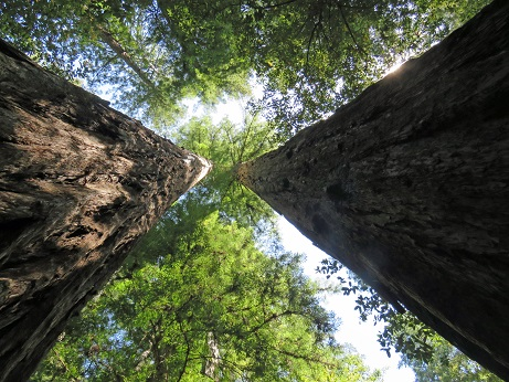 Up Redwoods